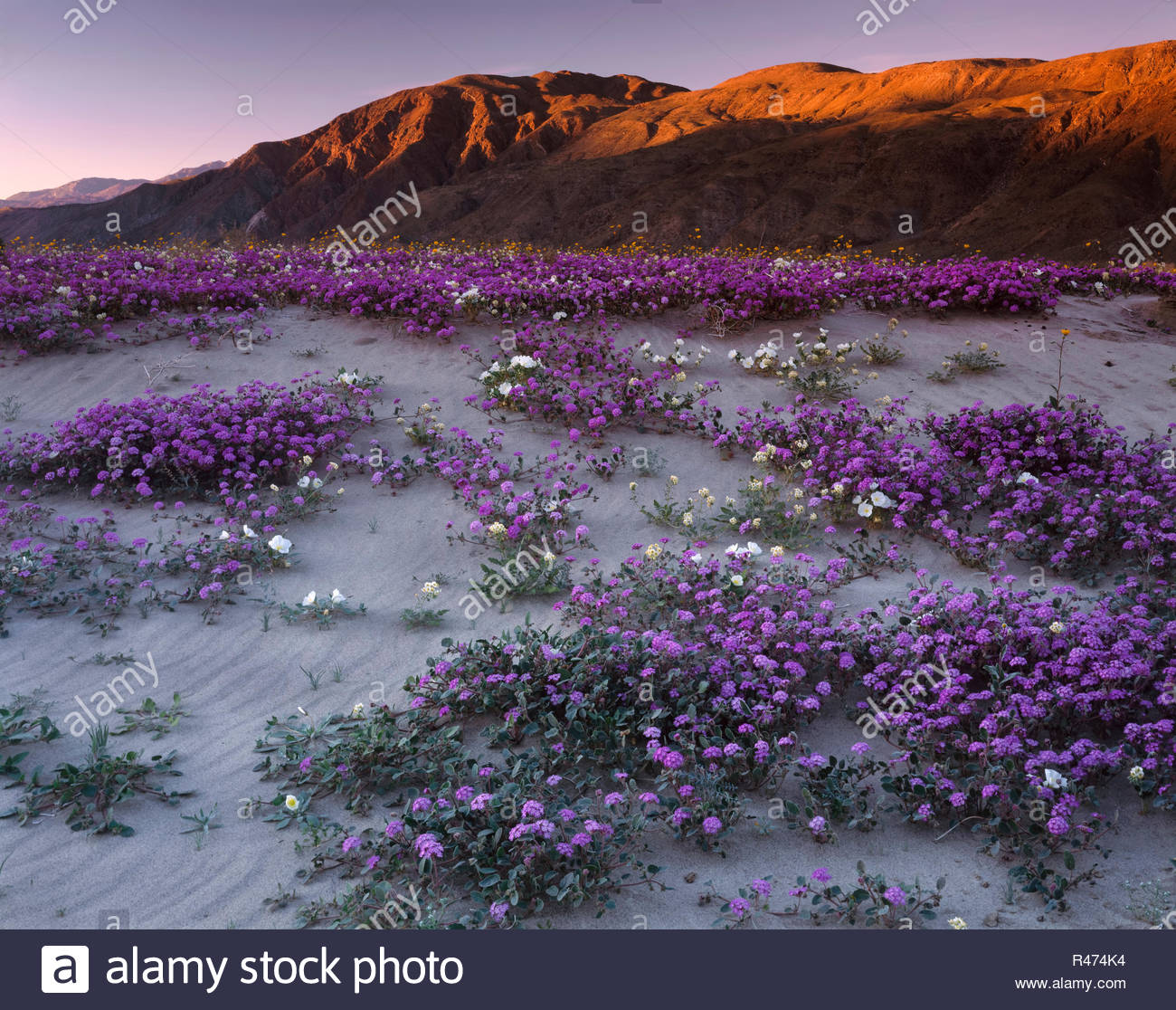 Superbloom of verbena and primrose below Coyote Mountain near Henderson Canyon Road at sunset, Anza Borrego Desert State Park, California, USA. Stock Photo