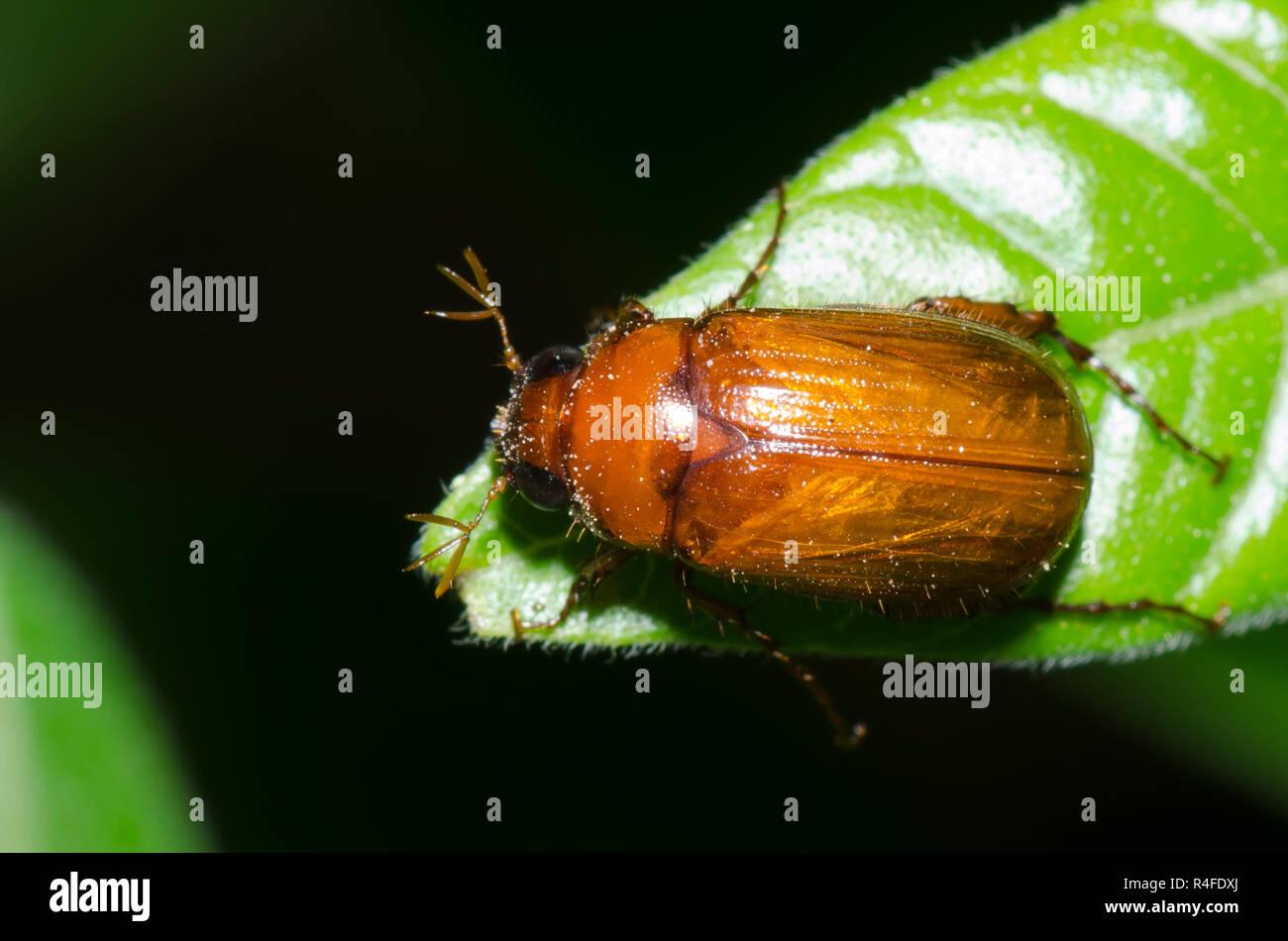 may-beetle-serica-sp-R4FDXJ.jpg