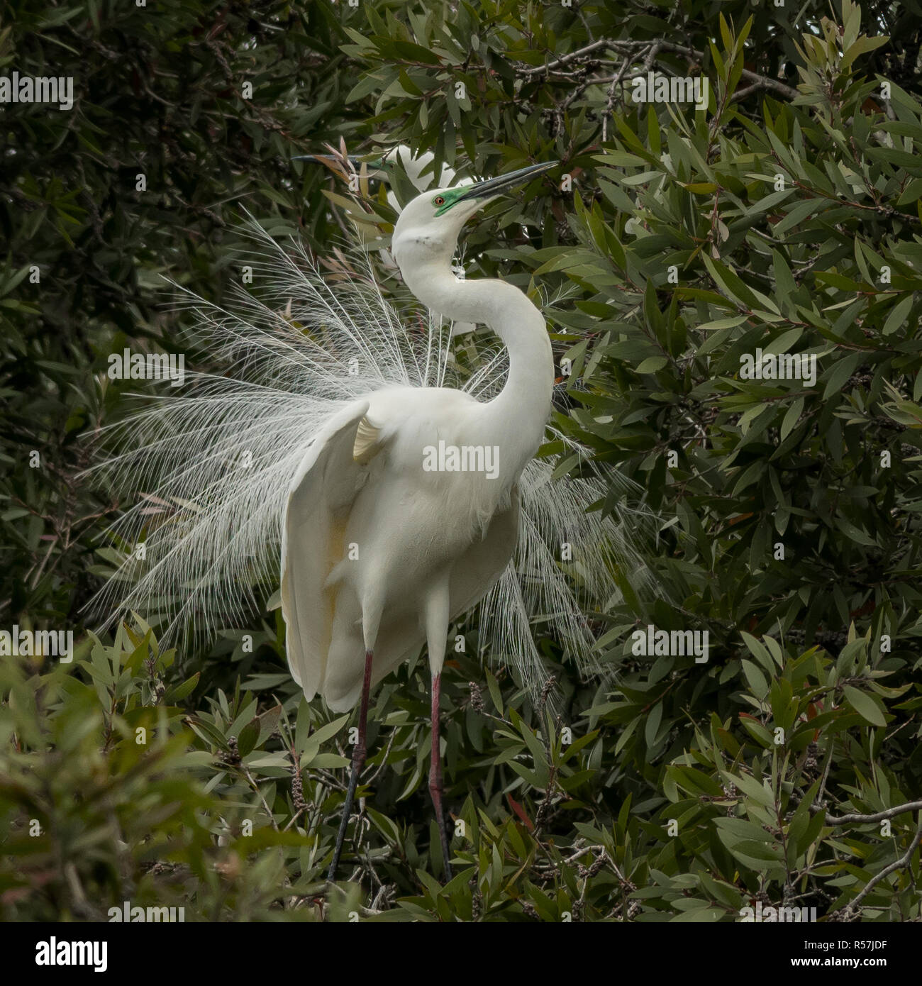 The eastern great egret (Ardea modesta) displaying its breeding plumage is a large heron with all-white plumage. Stock Photo