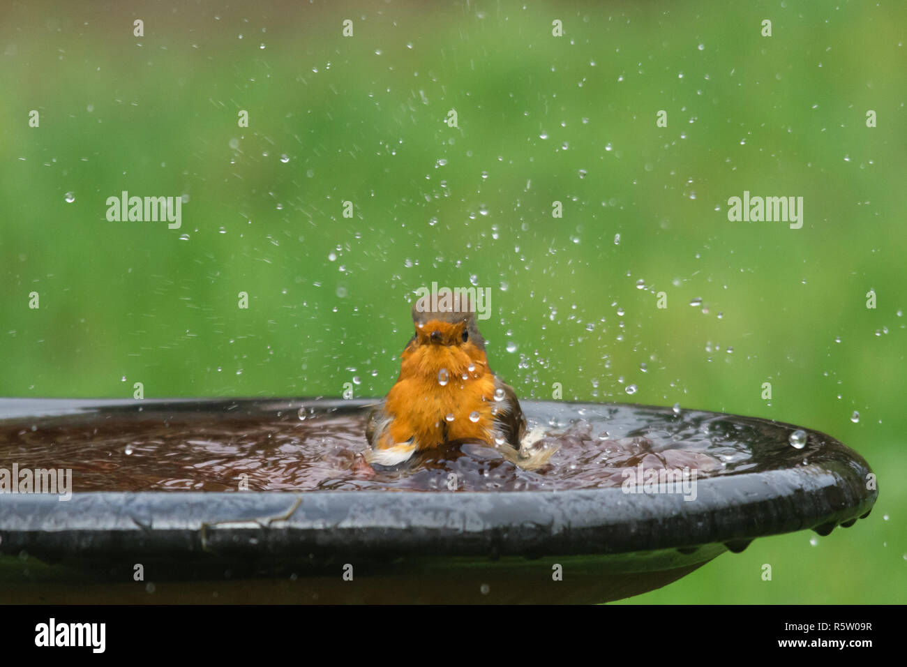 robin-erithacus-rubecula-small-bird-having-a-bath-garden-wildlife-animal-humour-humor-R5W09R.jpg