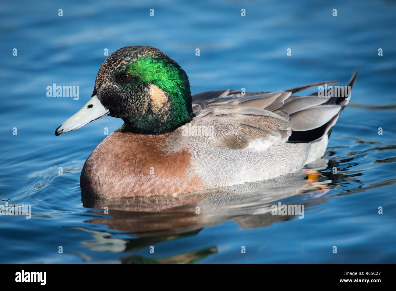 A hybrid Mallard x American Wigeon duck at Humber Bay park in Toronto, Ontario, Canada.  Mallards are notorious for hybridizing with other species. Stock Photo