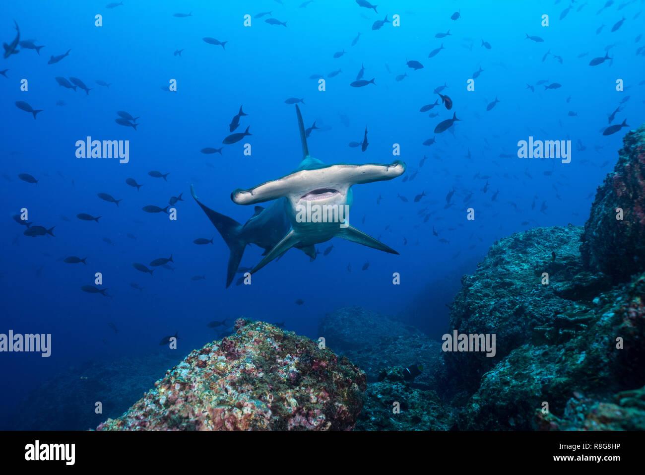 Hammerhead at Cocos Island, Costarica Stock Photo