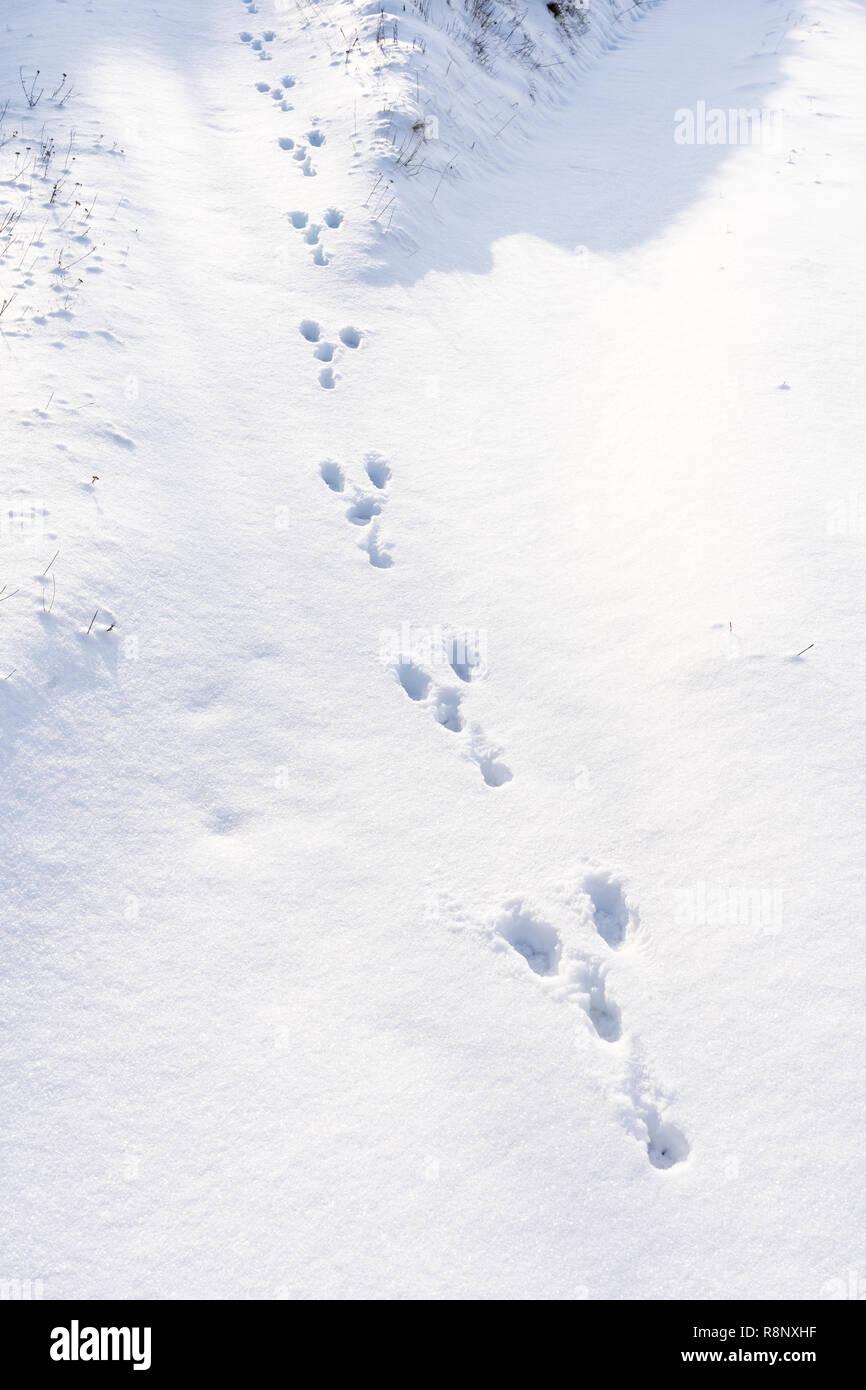 rabbit-paw-prints-in-freshly-fallen-snow
