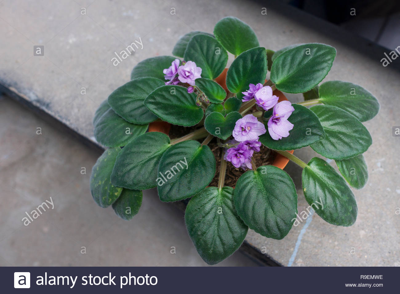 an-african-violet-plant-grown-from-a-lea