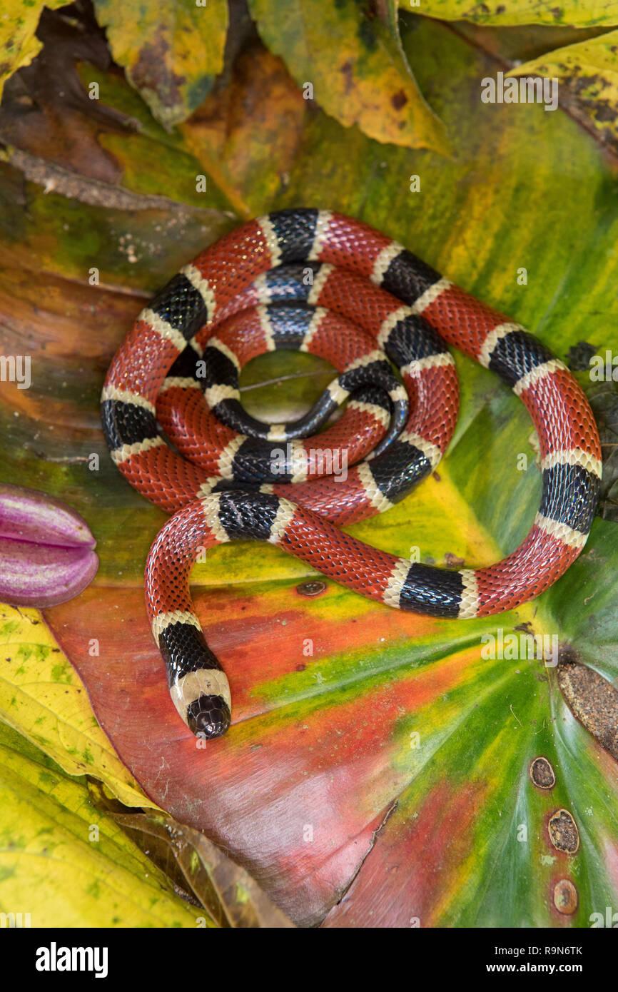Venomous Costa Rican coral snake in Costa Rica Stock Photo