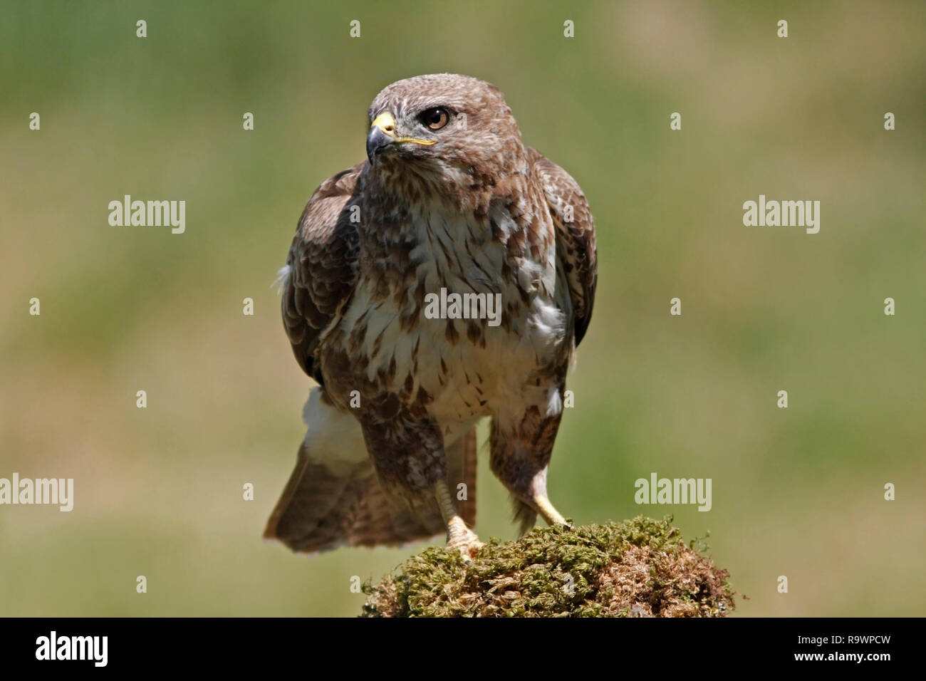 common-buzzard-buteo-buteo-on-a-stump-uk-R9WPCW.jpg