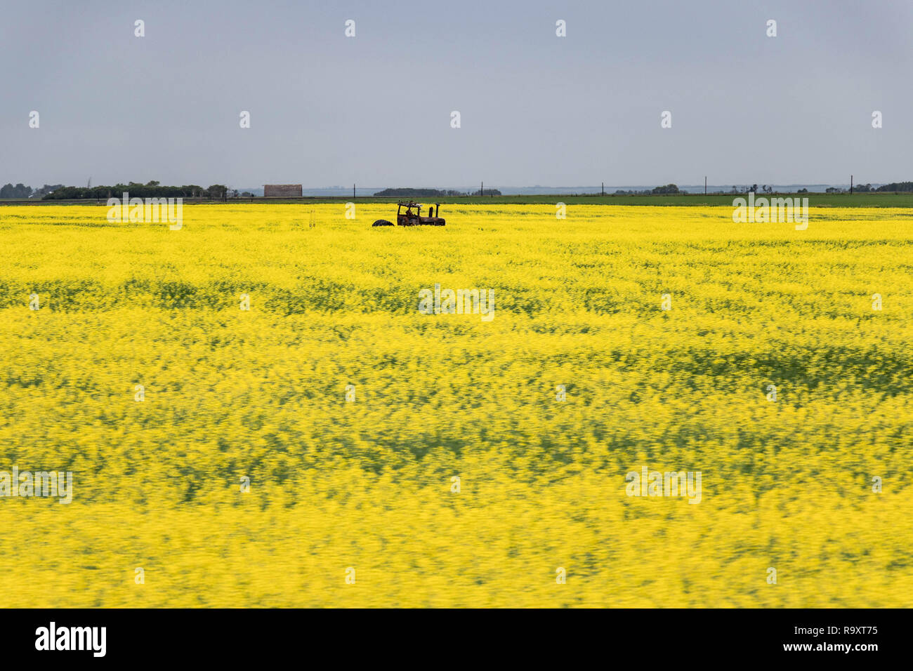 rusted-tractor-abandoned-in-a-canola-field-manitoba-canada-R9XT75.jpg