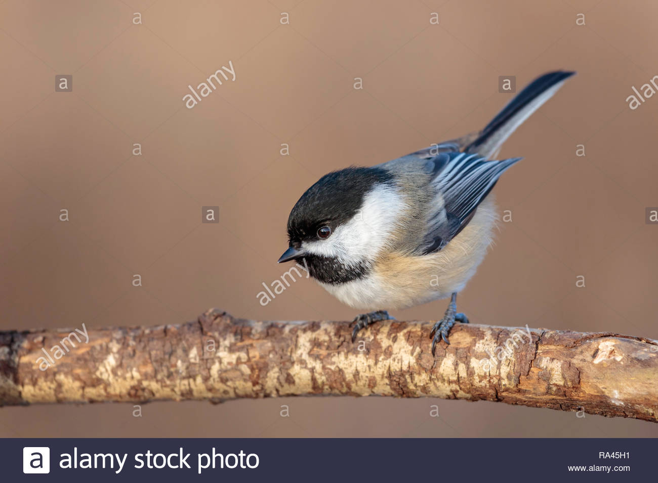 black-capped-chickadee-poecile-atricapil