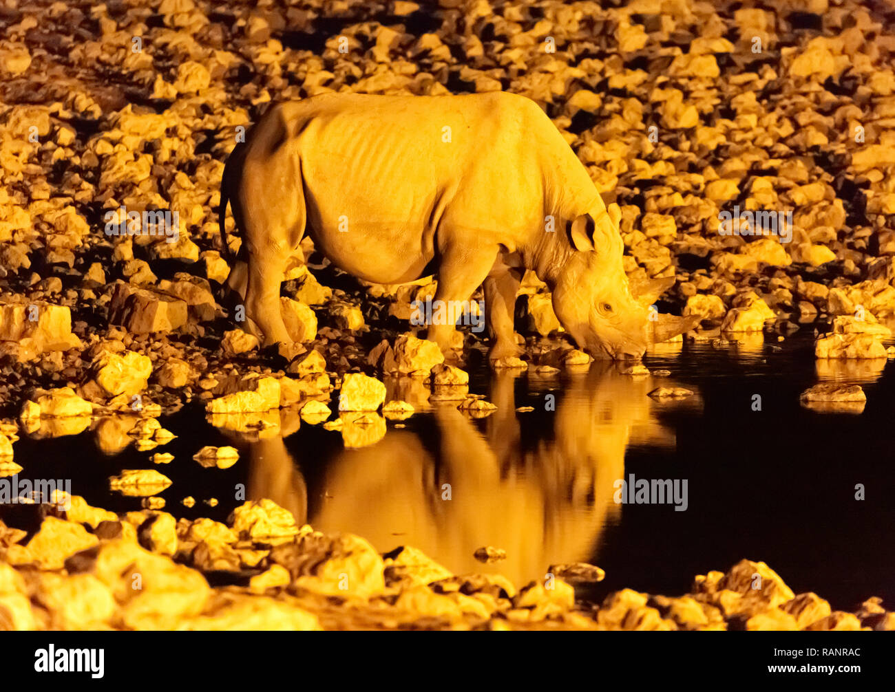 black-rhino-diceros-bicornis-african-wildlife-drinking-at-a-waterhole-at-night-okaukuego-camp-etosha-national-park-namibia-africa-RANRAC.jpg