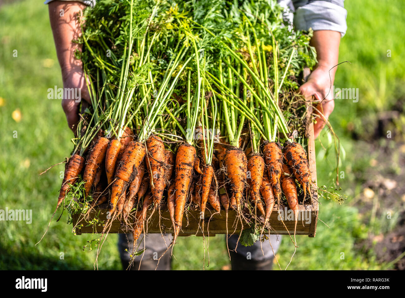Local farmer holding a box of freshly harvested carrots from the organic vegetable garden, bio farming concept Stock Photo