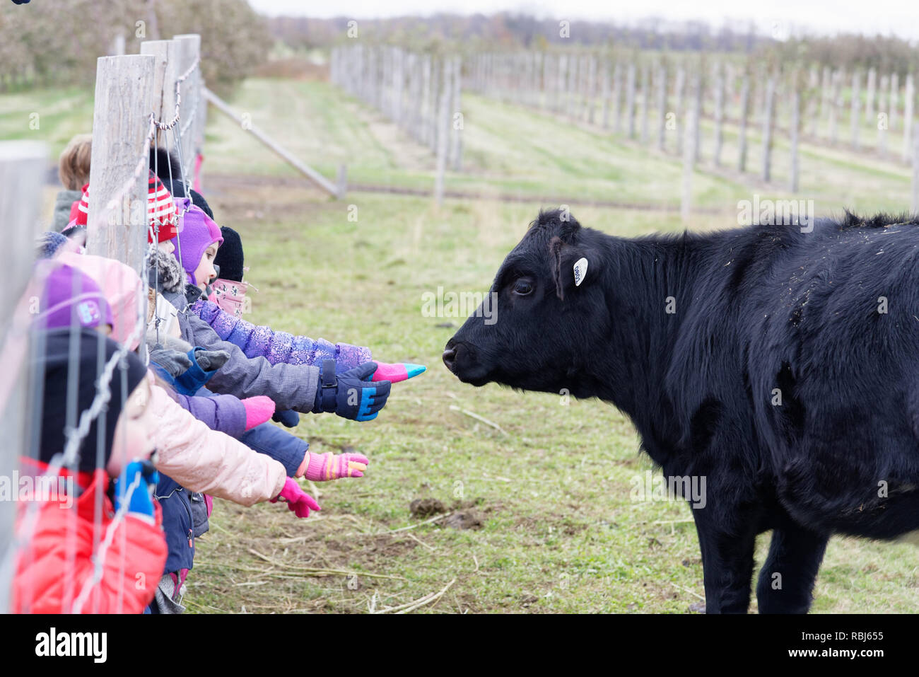 Children on a farm reaching through a fence to touch a black calf Stock Photo