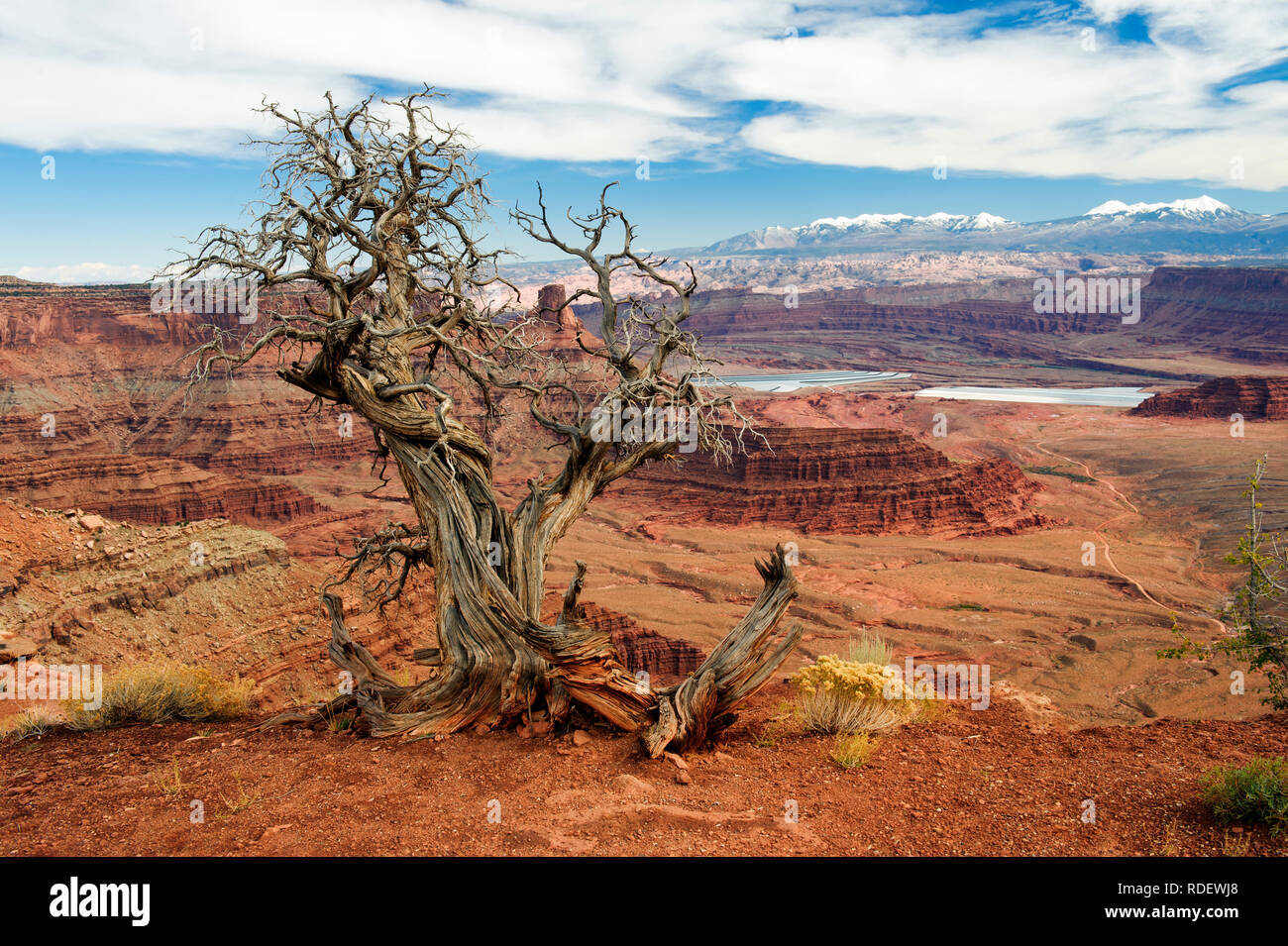 dead-juniper-tree-at-dead-horse-point-state-park-utah-usa-la-sal-mountains-in-the-background-RDEWJ8.jpg