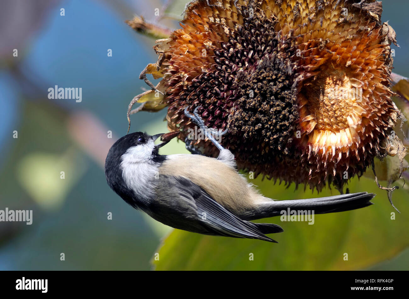 A Black-capped Chickadee (Poecile atricapillus) retrieving a sunflower seed from the head of a sunflower. Stock Photo