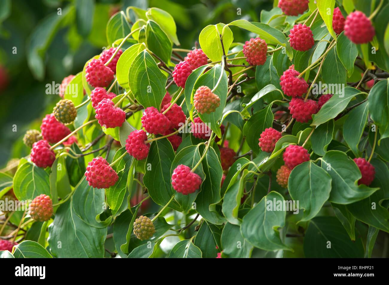 Cornus kousa `China Girl` Dogwood Fruit Stock Photo