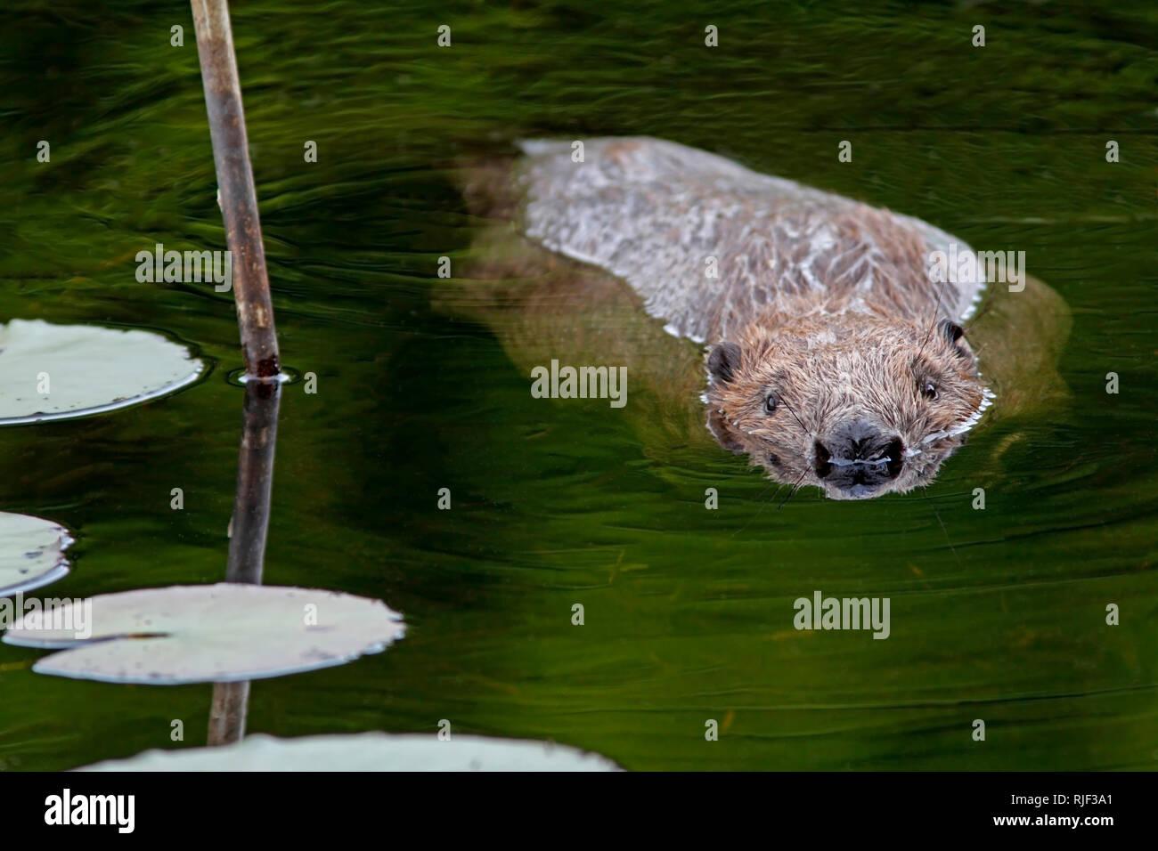 european-beaver-castor-fiber-swimming-knapdale-forest-argyll-scotland-RJF3A1.jpg