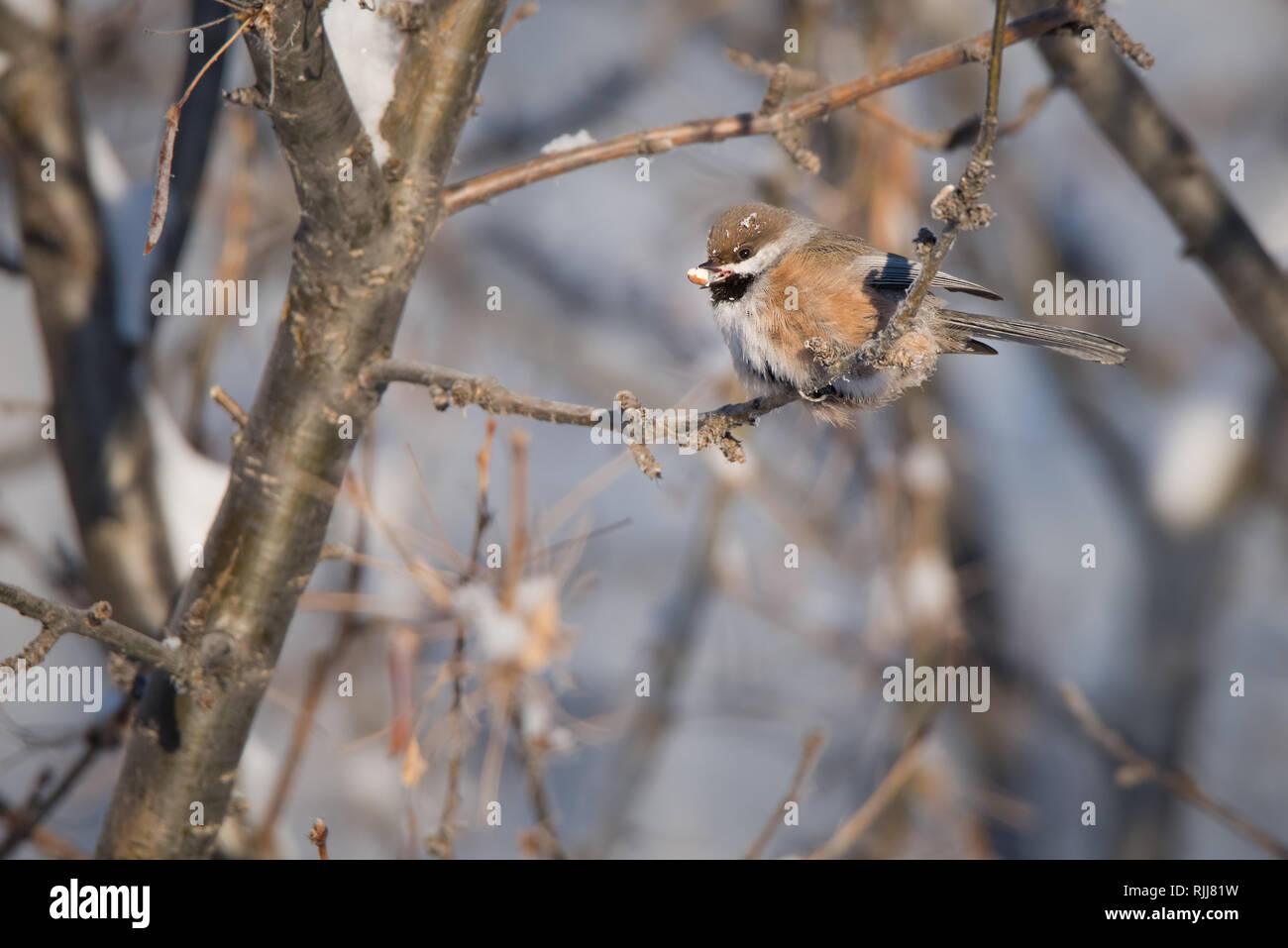 A Boreal Chickadee perched with a tasty snack from a bird feeder on a chilly morning in Yellowknife, Northwest Territories, Canada. Stock Photo