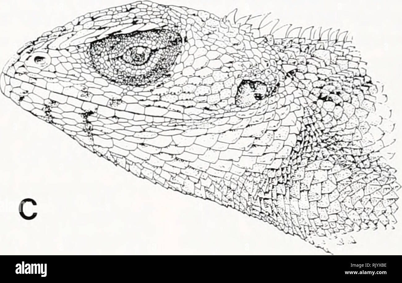 . Asiatic herpetological research. Reptiles -- Asia Periodicals; Amphibians -- Asia Periodicals. FIG. 12. Side views of head of adult Calotes versicolor. A, C. v. nigrigularis, FMNH/U 79470, adult male, Chergal, Manshera Dist., NWFP, Pakistan.. B, Calotes v. versicolor, FMNH/UF 78926, adult male, Mach, Quetta Dist., Baluchistan, Pakistan. C, C. v. versicolor, FMNH/UF 70516, adult male, Karachi, Karachi Dist., Sindh Prov., Pakistan. Seri, Muzaffarabad Dist.; FMNH/UF 79601, Chela, Muzaffarabad Dist.; NORTHWEST FRONTIER PROVINCE: FMNH/UF 78944, Charsadda, Mandan Dist.; FMNH/UF 79229, Bahrain, Swa - Stock Image