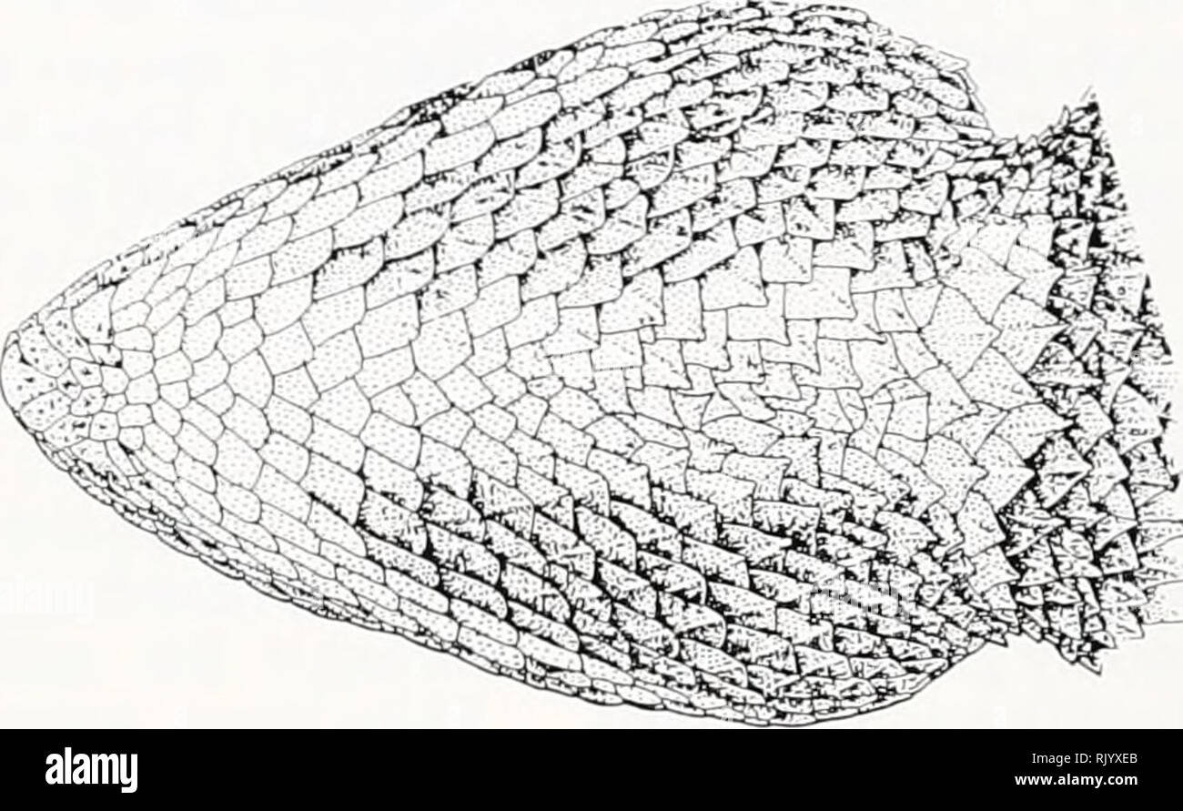 . Asiatic herpetological research. Reptiles -- Asia Periodicals; Amphibians -- Asia Periodicals. B. FIG. 11. Chin and throat color pattern in Calotes v. nigrigularis. A, FMNH/UF 79470, adult male, nr. Chergal, Manshera Dist., NWFP, Pakistan. B, FMNH/UF, juvenile male, Miandam, Swat Dist., NWFP, Pakistan. C, FMNH/UF 70503, adult female, Abbottabad, Abbottabad Dist., NWFP, Pakistan. State, India; FMNH/UF 19884-5, New Delhi, India; FMNH/UF 78420, Multan, Multan Dist., Punjab Prov., Pakistan; ZSI 20798, 20800, Pali, Pali Dist., Rajasthan State, India; ZSI 1383, 13486, Ajmer, Rajasthan State, India - Stock Image
