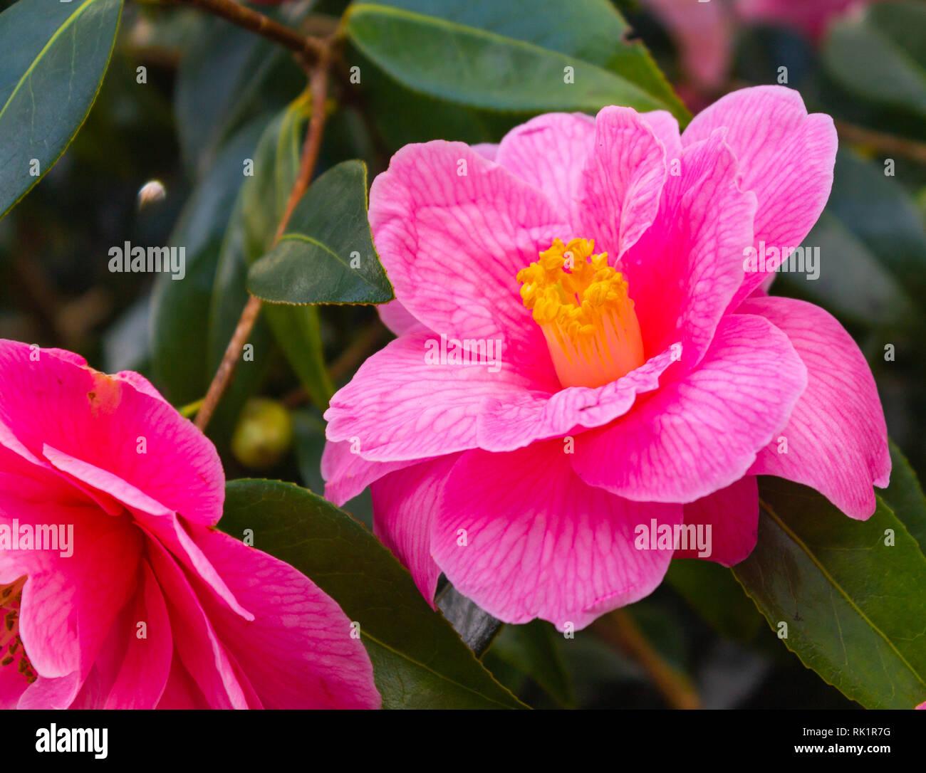 camellia-japonica-flower-in-full-bloom-RK1R7G.jpg