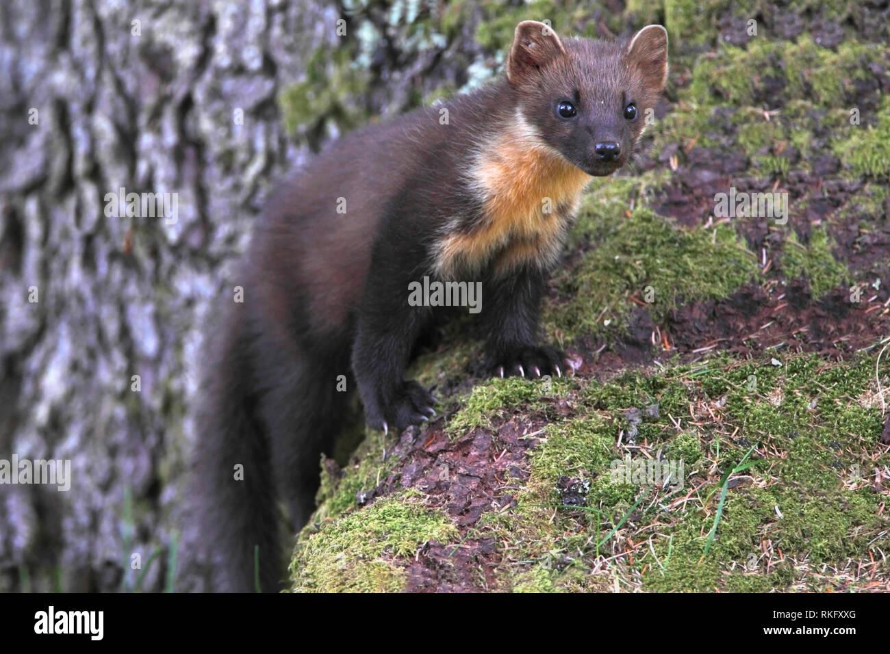 pine-marten-scotland-uk-RKFXXG.jpg