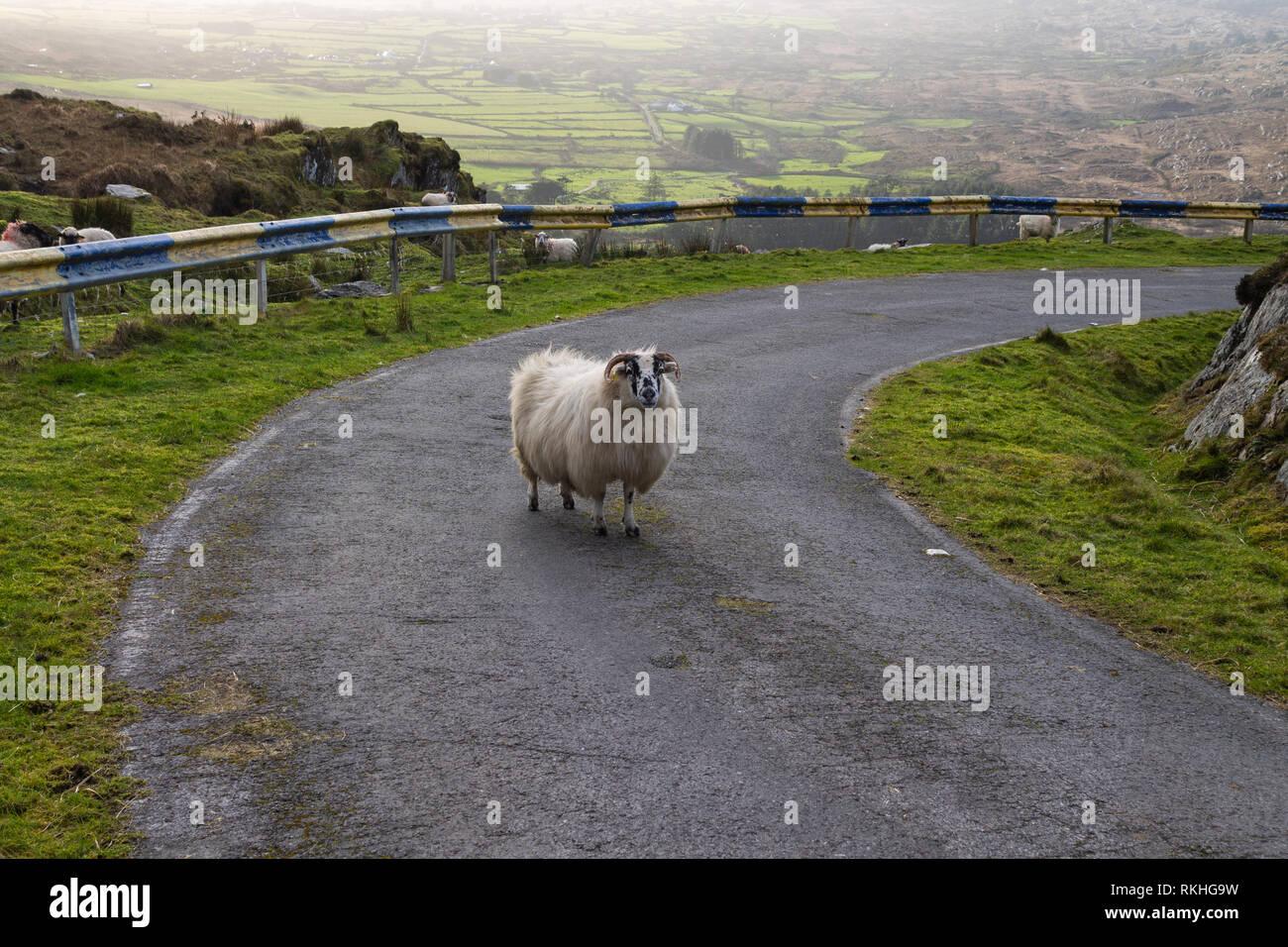 mixed-breed-ewe-blocking-a-road-on-a-mountain-side-in-ireland-RKHG9W.jpg