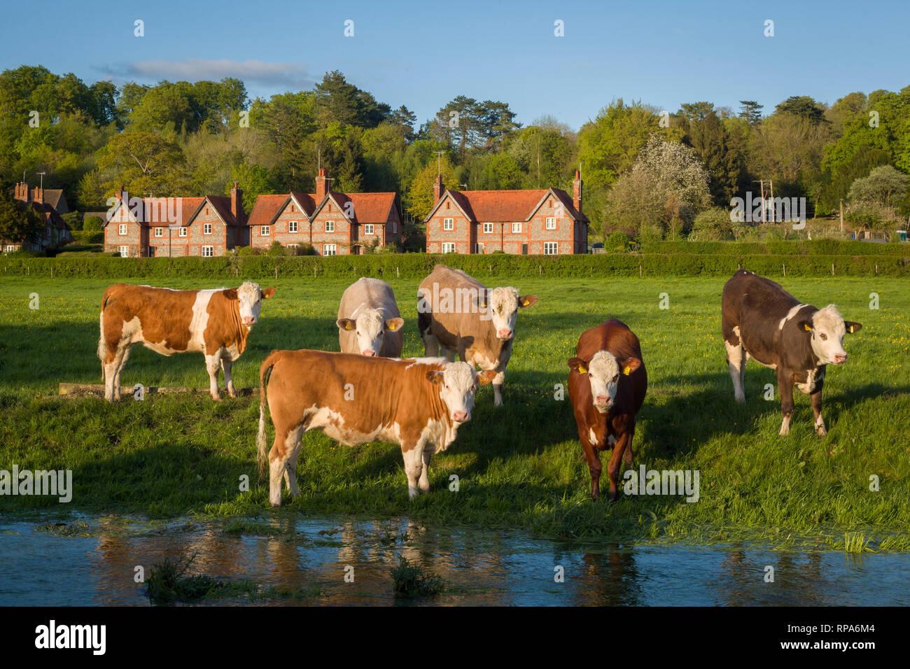 Cattle graze by the brook, near Hambleden, Buckinghamshire Stock Photo