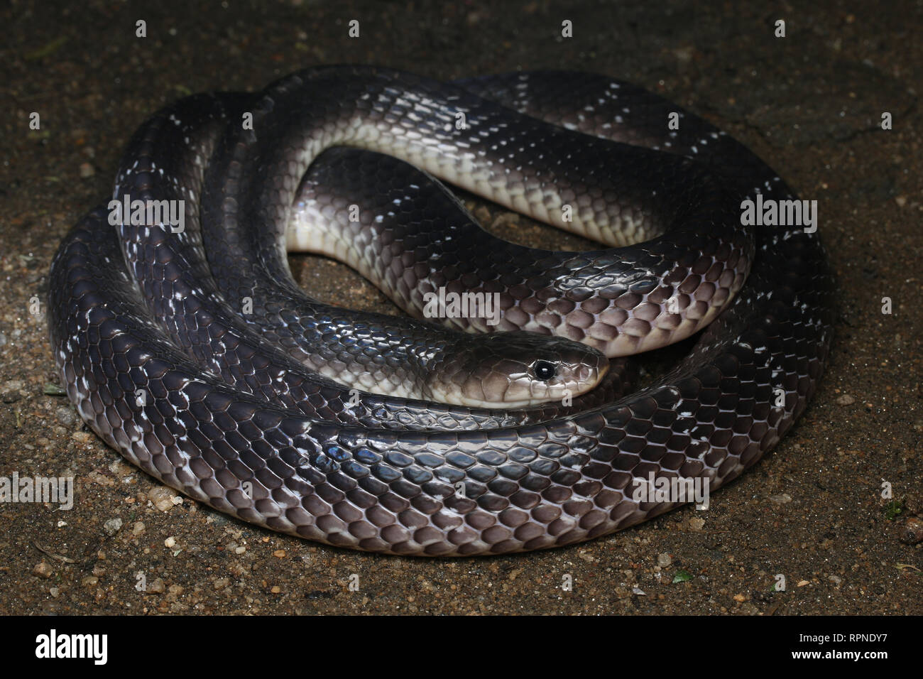 Common Krait, Bungarus caeruleus Stock Photo