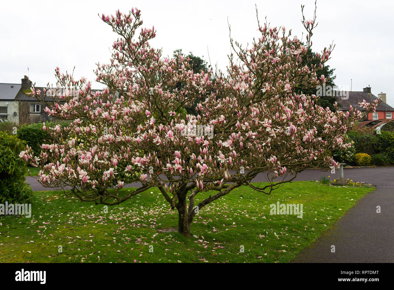 magnolia-tree-in-full-spring-flower-RPTDMT.jpg