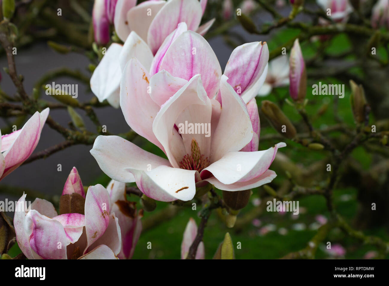 magnolia-tree-in-full-spring-flower-RPTDMW.jpg