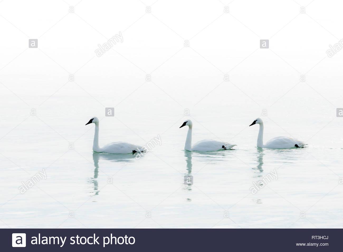 trumpeter-swans-cygnus-buccinator-on-a-c