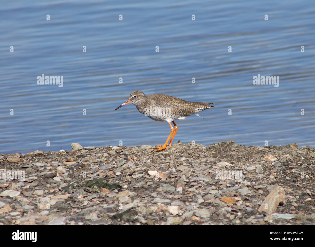 redshank-tringa-totanus-feeding-in-shallow-water-RWXWGW.jpg