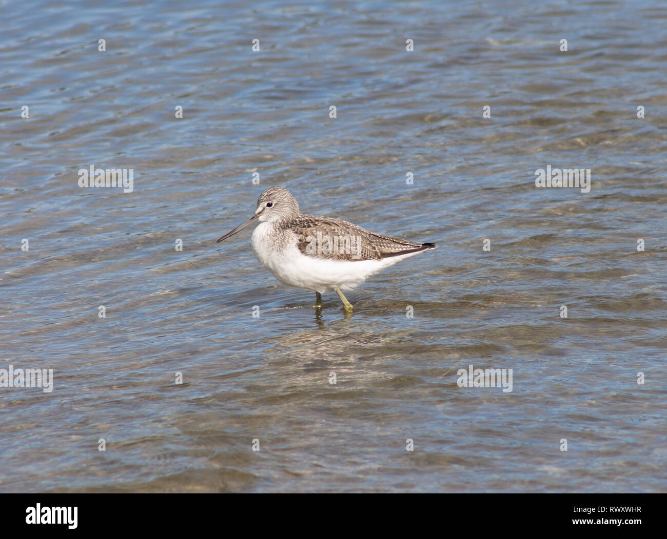 common-green-shank-tringa-nebularia-wading-in-shallow-water-RWXWHR.jpg