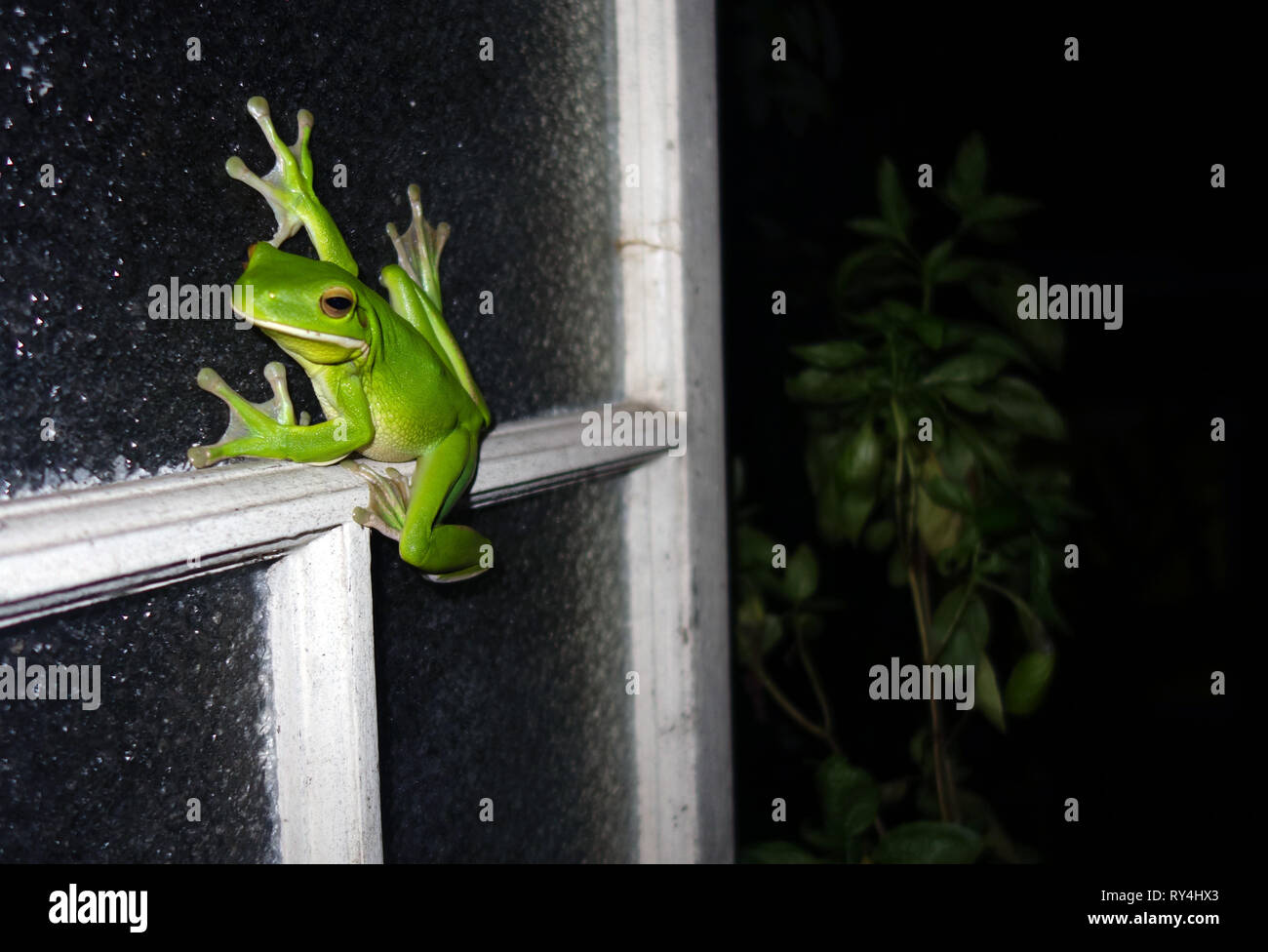 White-lipped green treefrog (Litoria infrafrenata) on kitchen window, wet season in Cairns, Queensland, Australia. No PR Stock Photo
