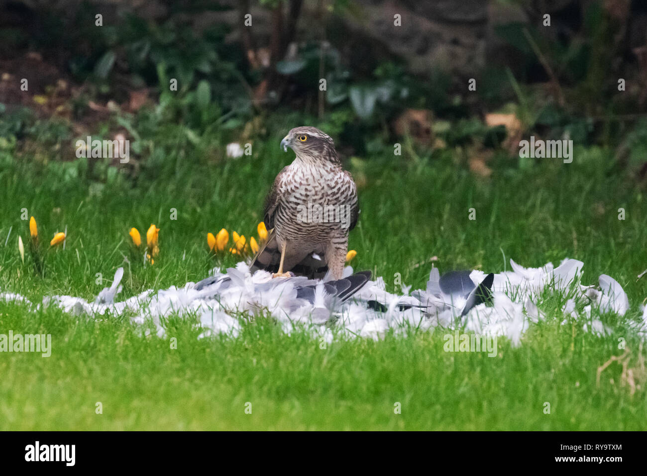 sparrowhawk-garden-uk-a-sparrowhawk-feeding-on-a-bird-in-a-domestic-garden-suffolk-uk-RY9TXM.jpg