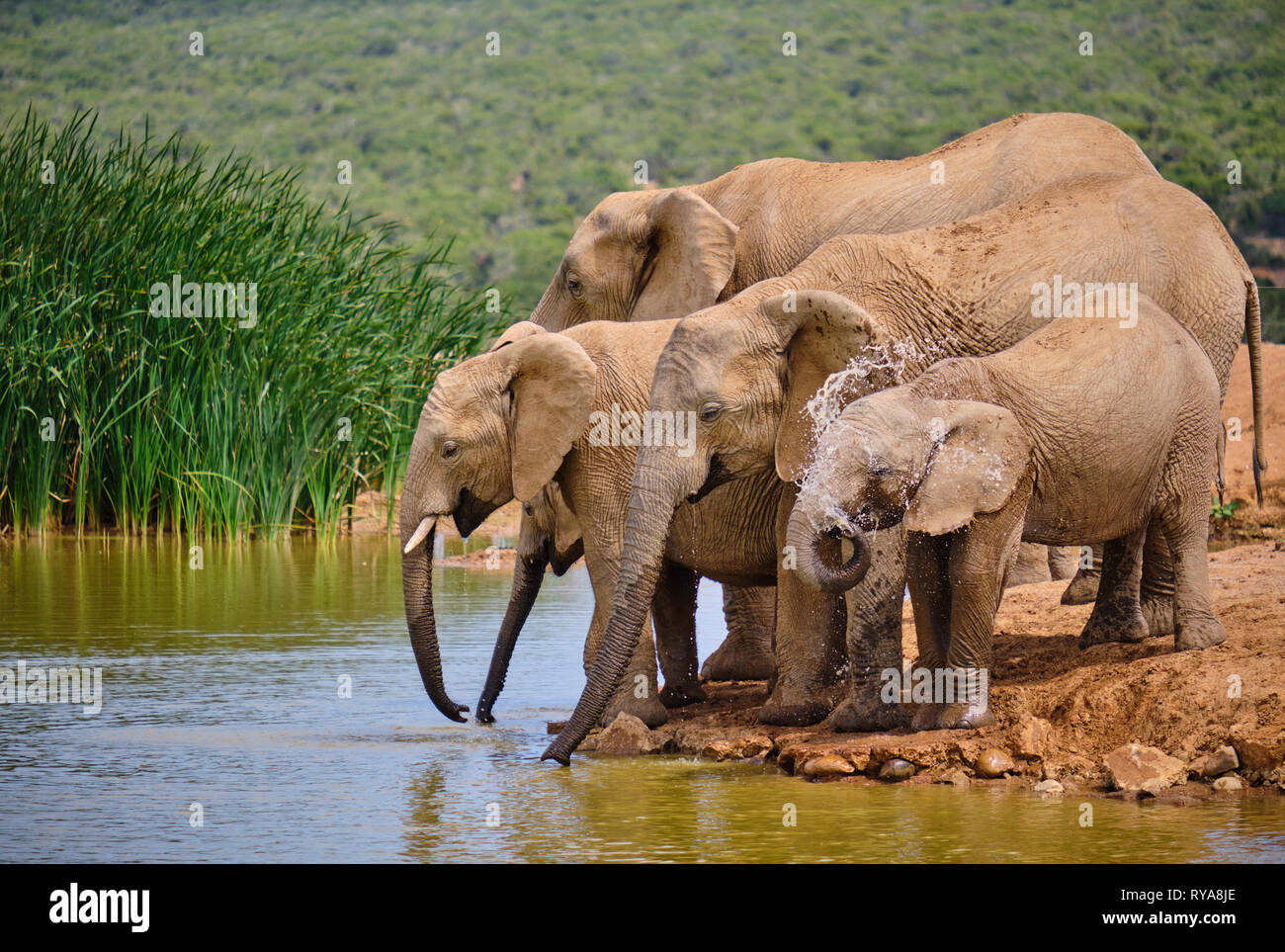 family-of-five-african-elephant-drinking-playfully-at-water-hole-various-ages-baby-spraying-itself-RYA8JE.jpg