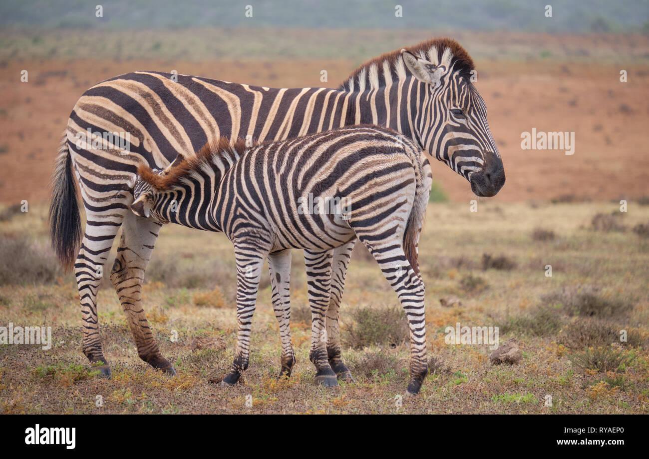 mother-and-juvenile-burchells-zebra-equus-quagga-burchellii-together-baby-is-feeding-off-mom-full-body-capture-RYAEP0.jpg