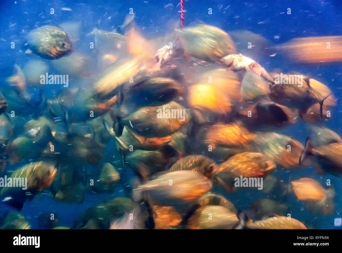motion-blurred-photograph-of-piranhas-characidae-in-a-feeding-frenzy-bait-chumfish-parts-hanging-on-a-rope-attract-the-fish-for-a-meal-RYFN9X.jpg