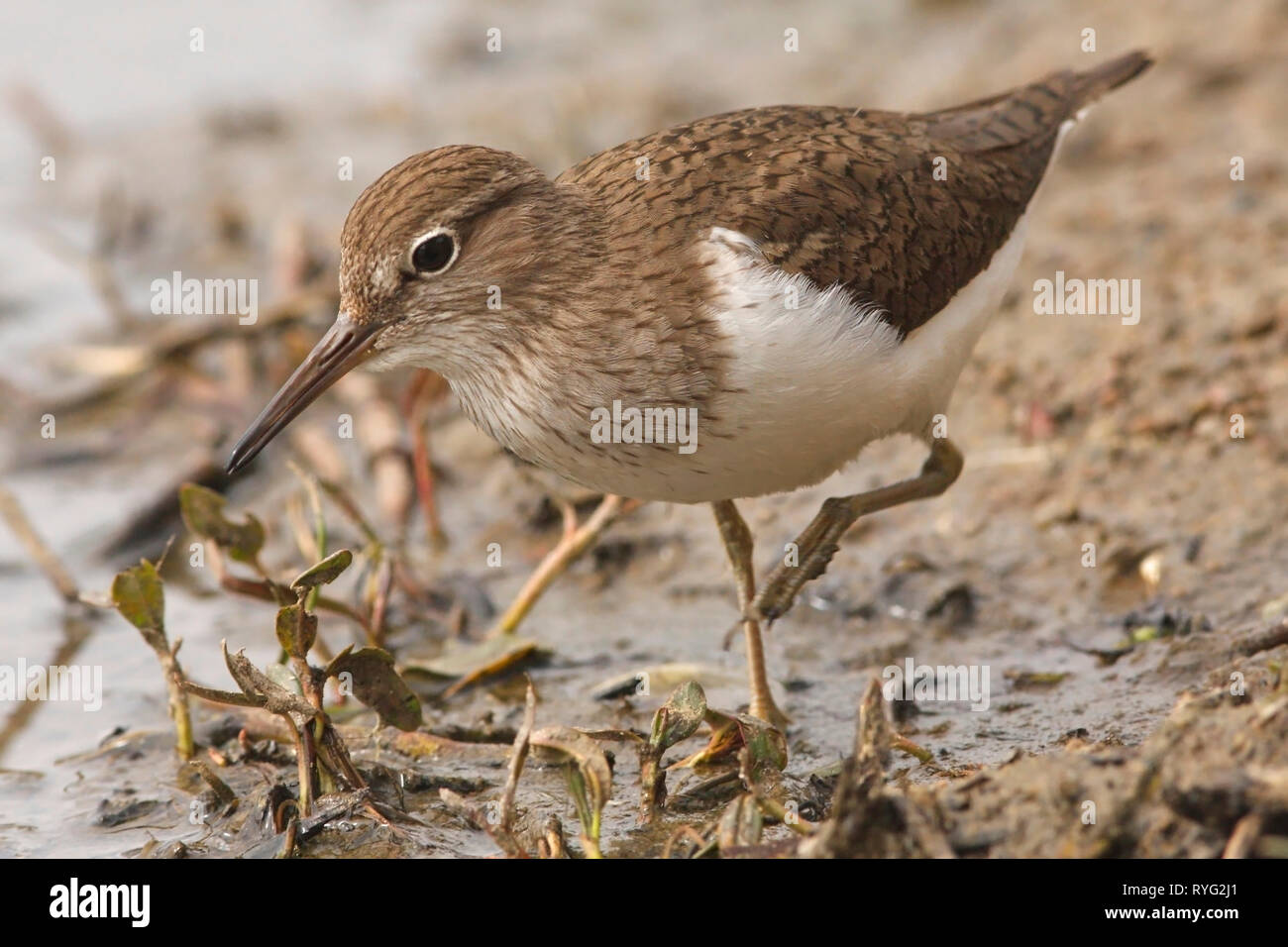 common-sandpiper-actitis-hypoleucos-scotland-uk-RYG2J1.jpg
