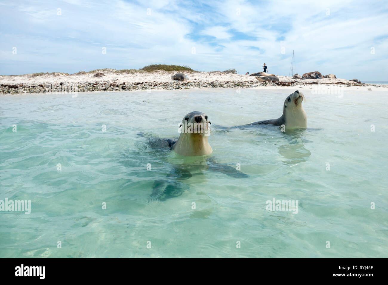 White Bank (also called Seal Island) is home to a family of Australian Sea Lions in the Easter group of the Houtman Abrolhos. The Houtman Abrolhos isl Stock Photo