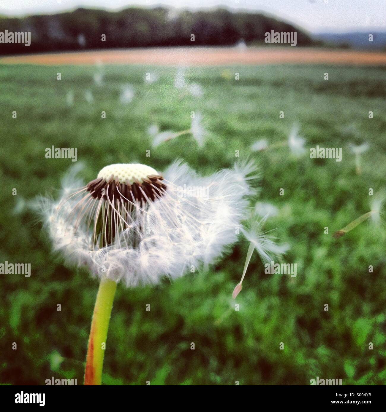 Dandelion in the wind - Stock Image