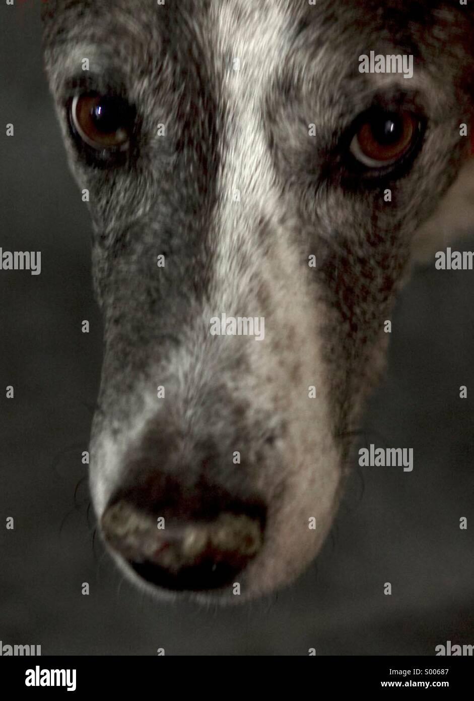 Dog, Catahoula, Breed, Face, Looking at Camera, Pet, Animal, Domesticated, Eyes, Close-up, No People - Stock Image