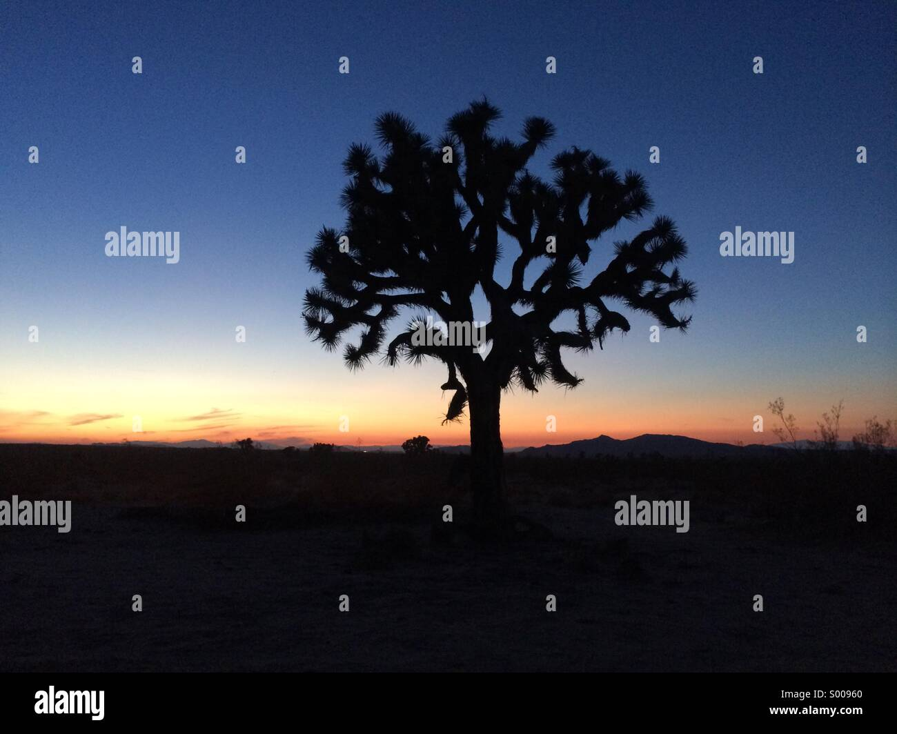 Joshua tree At the Californian desert - Stock Image