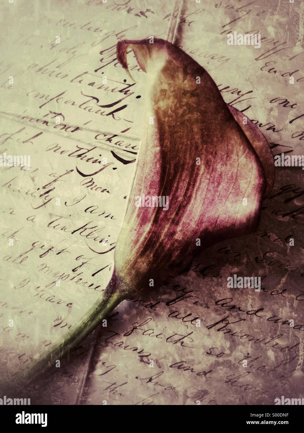 Calla lily on old letters - Stock Image