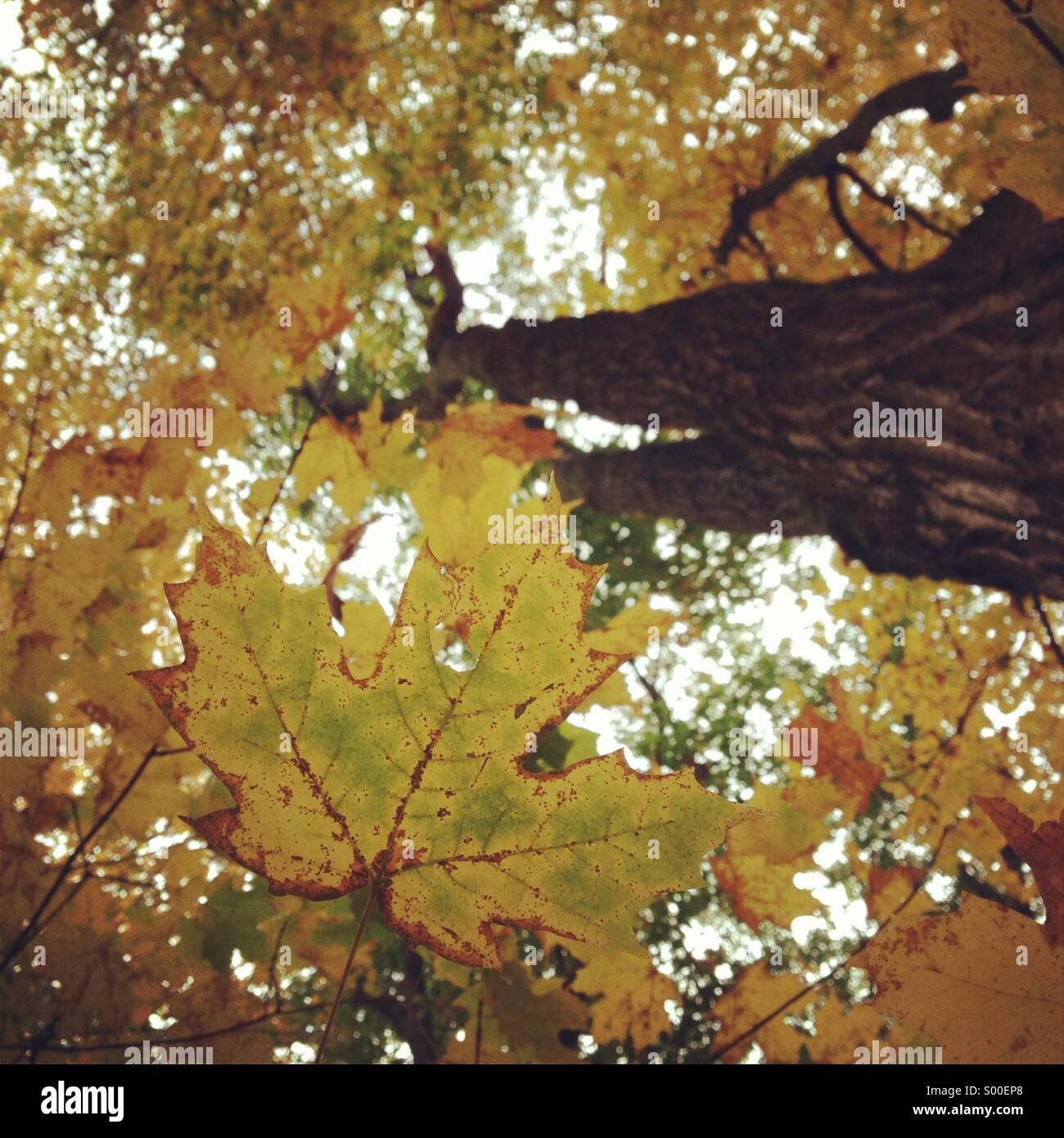 Fall maple tree in Canada - Stock Image