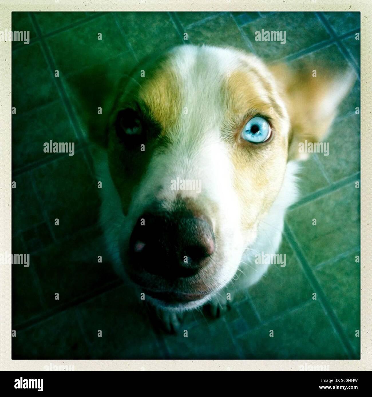 Australian shepherd dog with one bue eye. - Stock Image