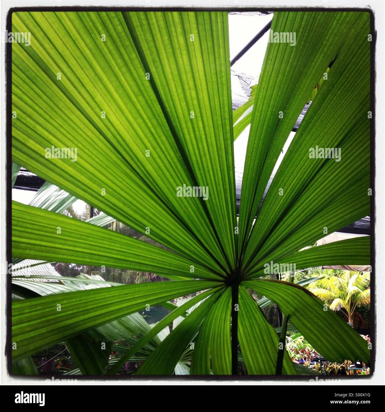 European fan palm - Stock Image