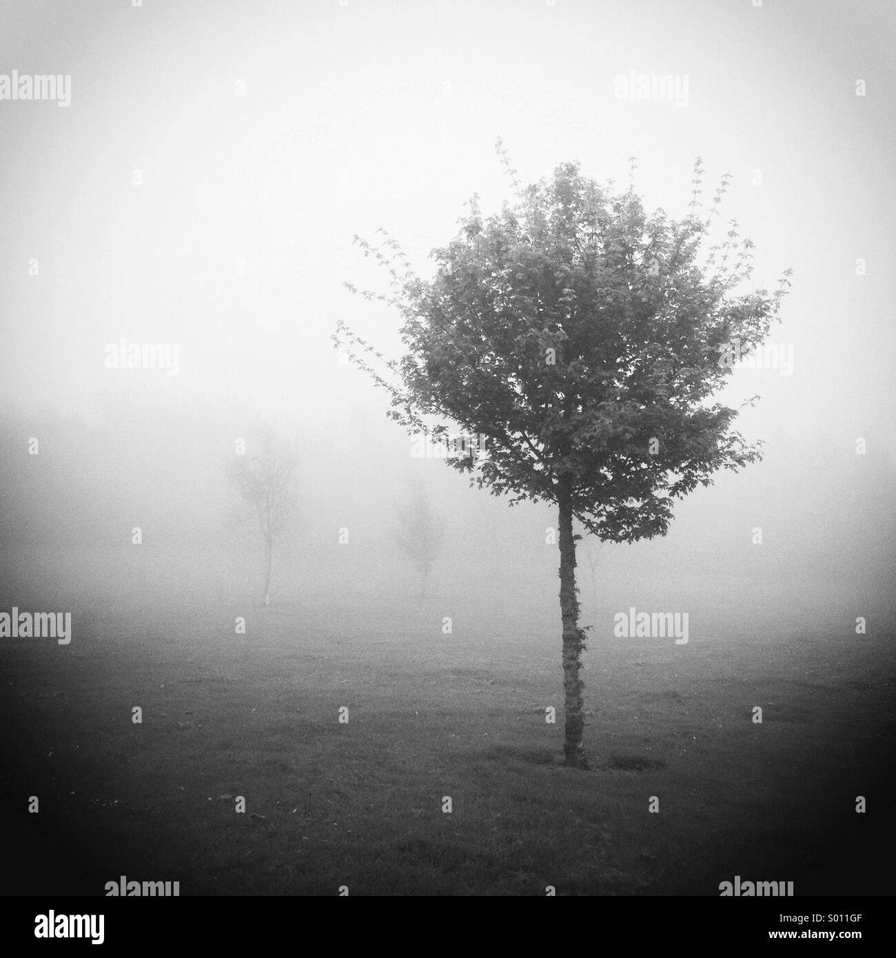 Trees in the fog - monochrome. - Stock Image