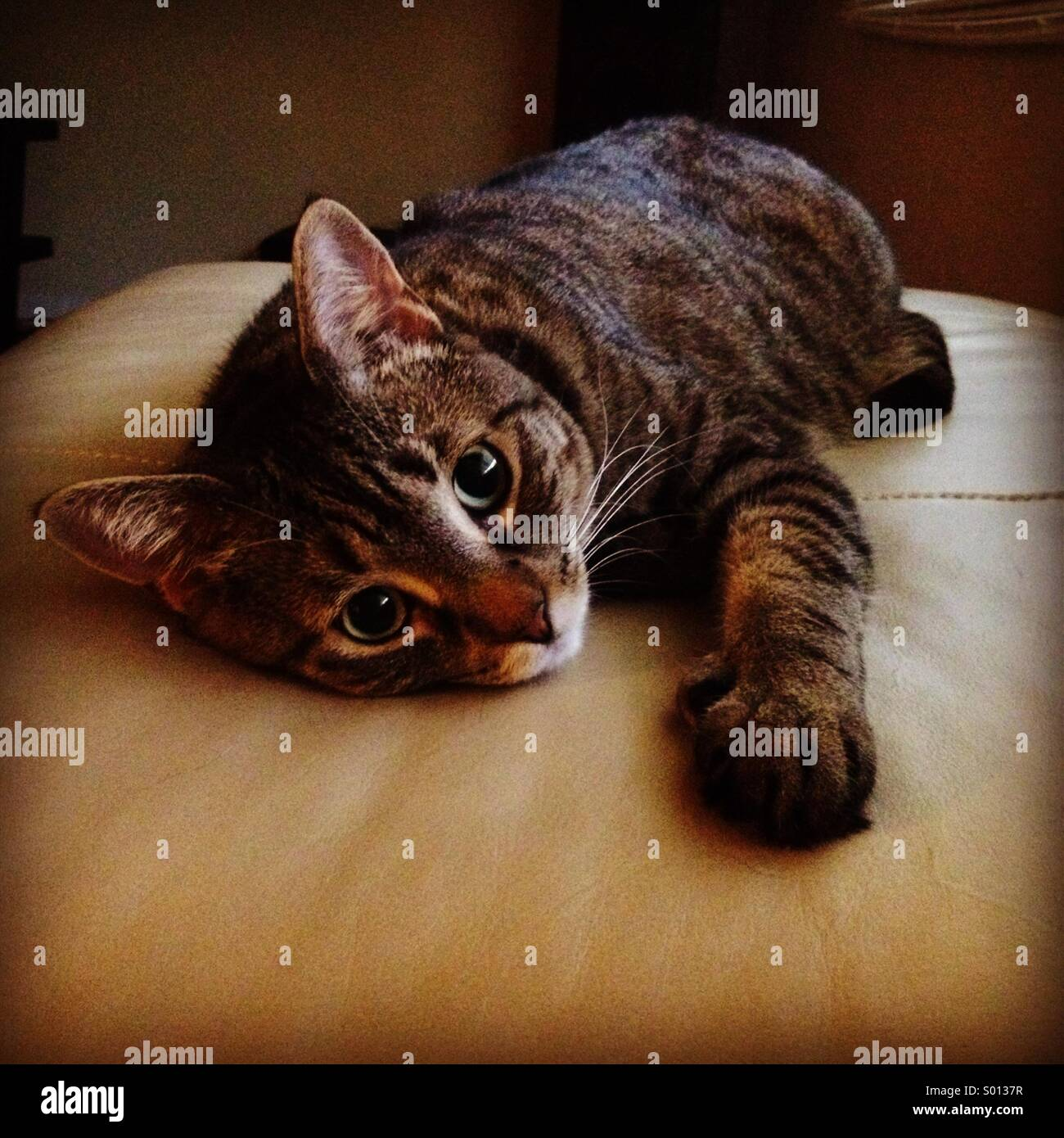 Tabby Bengal mix cat on her leather ottoman Stock Photo: 309811147