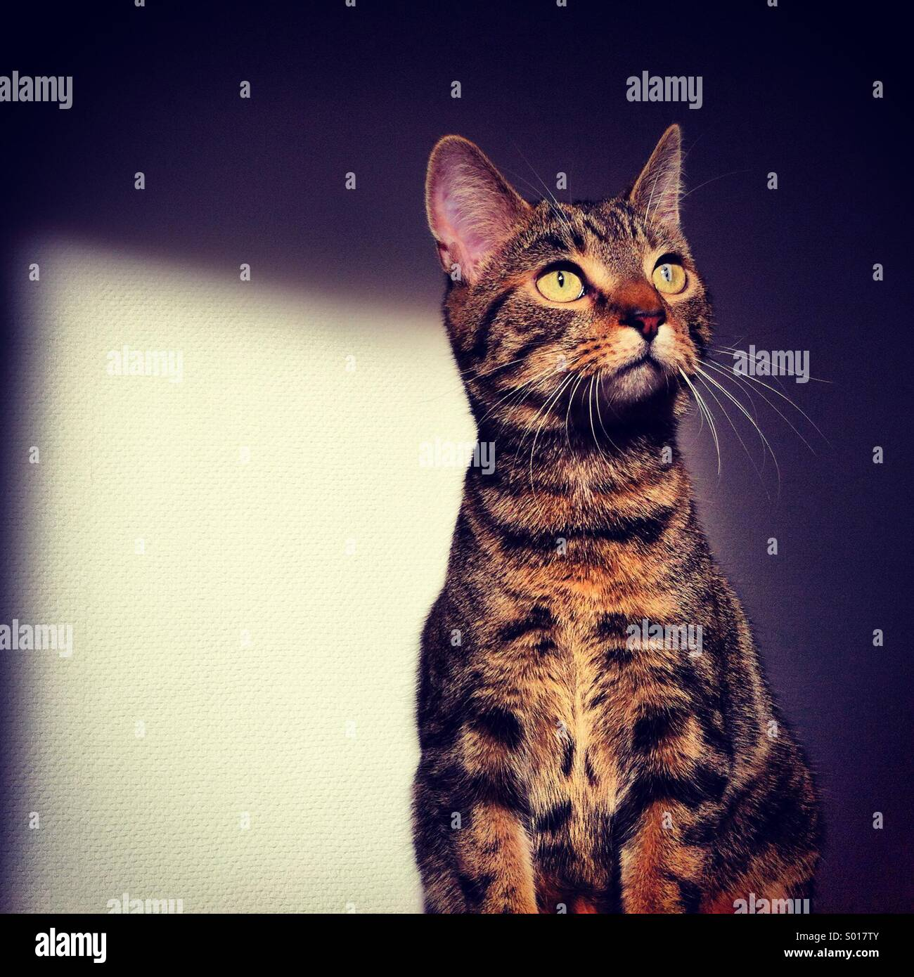 Domesticated young kitten tabby cat pet, sitting alert in sunlight at home. - Stock Image