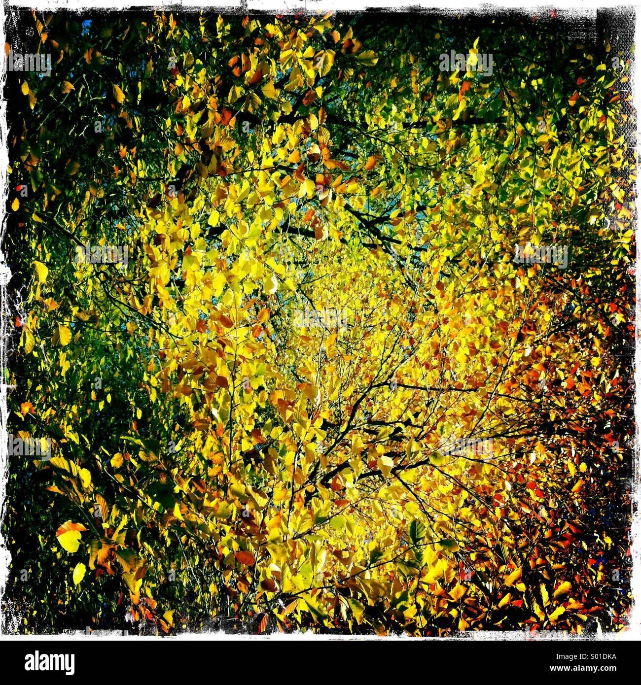 Golden autumn colour - Stock Image